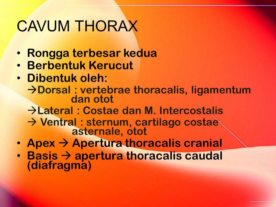 CAVUM THORAX Rongga terbesar kedua Berbentuk Kerucut Dibentuk oleh:  Dorsal : vertebrae thoracalis, ligamentum dan otot  Lateral : Costae dan M. Int