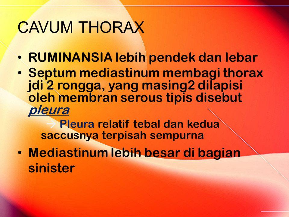 CAVUM THORAX RUMINANSIA lebih pendek dan lebar Septum mediastinum membagi thorax jdi 2 rongga, yang masing2 dilapisi oleh membran serous tipis disebut pleura  Pleura relatif tebal dan kedua saccusnya terpisah sempurna Mediastinum lebih besar di bagian sinister