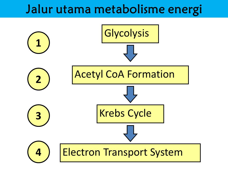 Jalur utama metabolisme energi Glycolysis Krebs Cycle Electron Transport System Acetyl CoA Formation 1 2 3 4