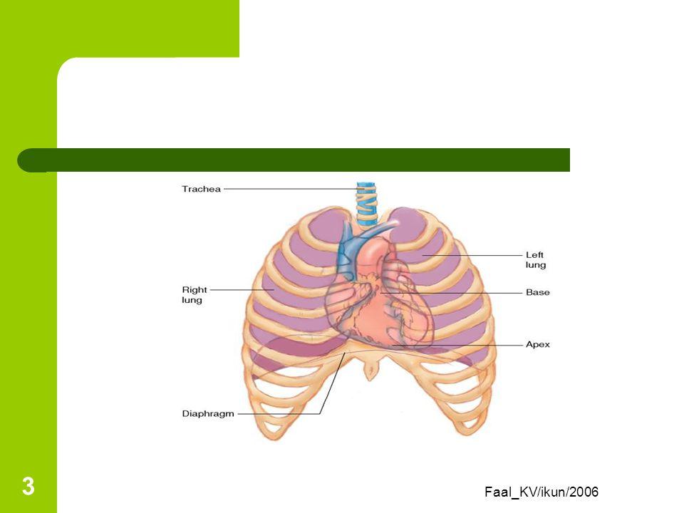 Faal_KV/ikun/2006 2 Review Anatomi Jantung berada dalam rongga thoraks di area mediastinum (ruang antar paru) Terdiri dari sisi apeks (intercostalis 5