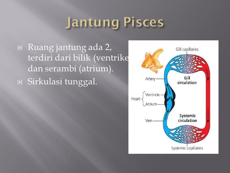  Ruang jantung ada 2, terdiri dari bilik (ventrikel) dan serambi (atrium).  Sirkulasi tunggal.