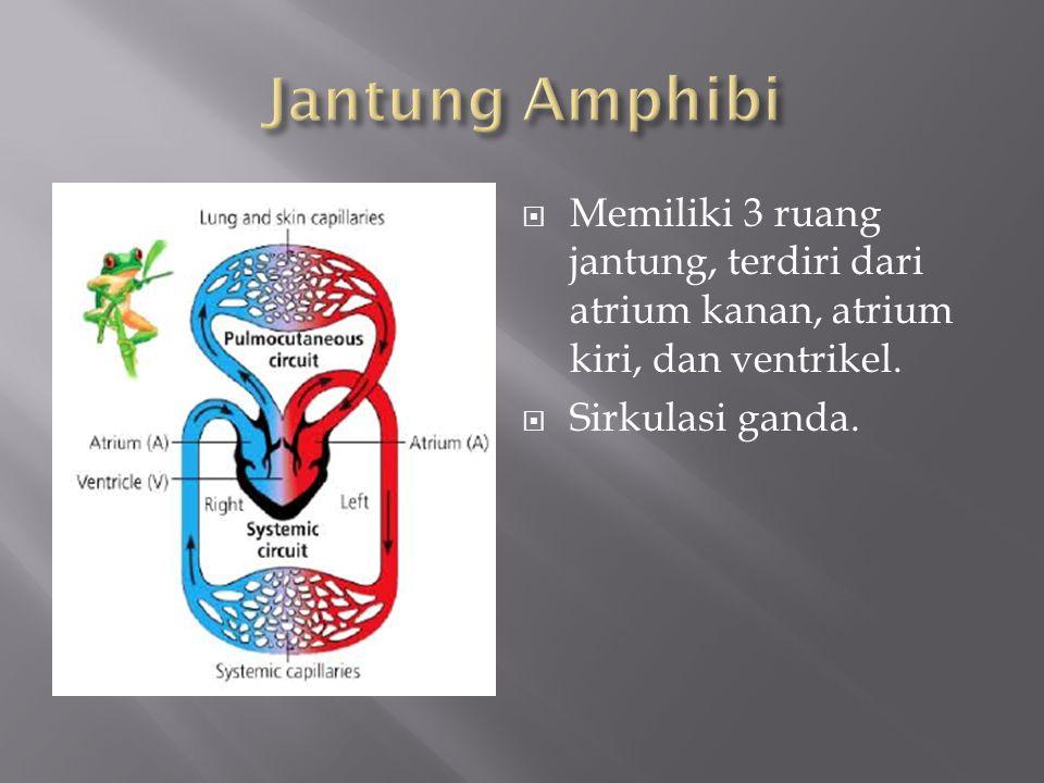  Memiliki 3 ruang jantung, terdiri dari atrium kanan, atrium kiri, dan ventrikel.  Sirkulasi ganda.
