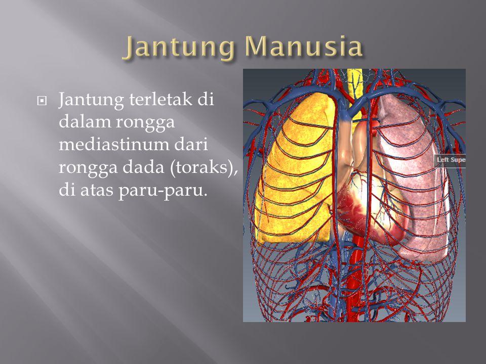  Jantung terletak di dalam rongga mediastinum dari rongga dada (toraks), di atas paru-paru.