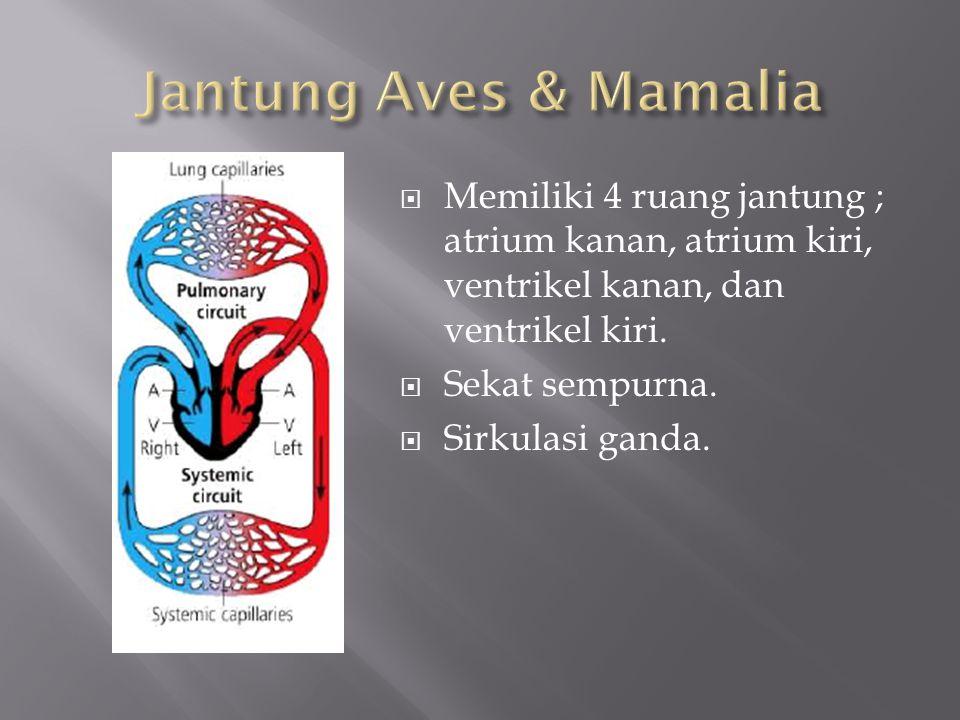  Memiliki 4 ruang jantung ; atrium kanan, atrium kiri, ventrikel kanan, dan ventrikel kiri.  Sekat sempurna.  Sirkulasi ganda.
