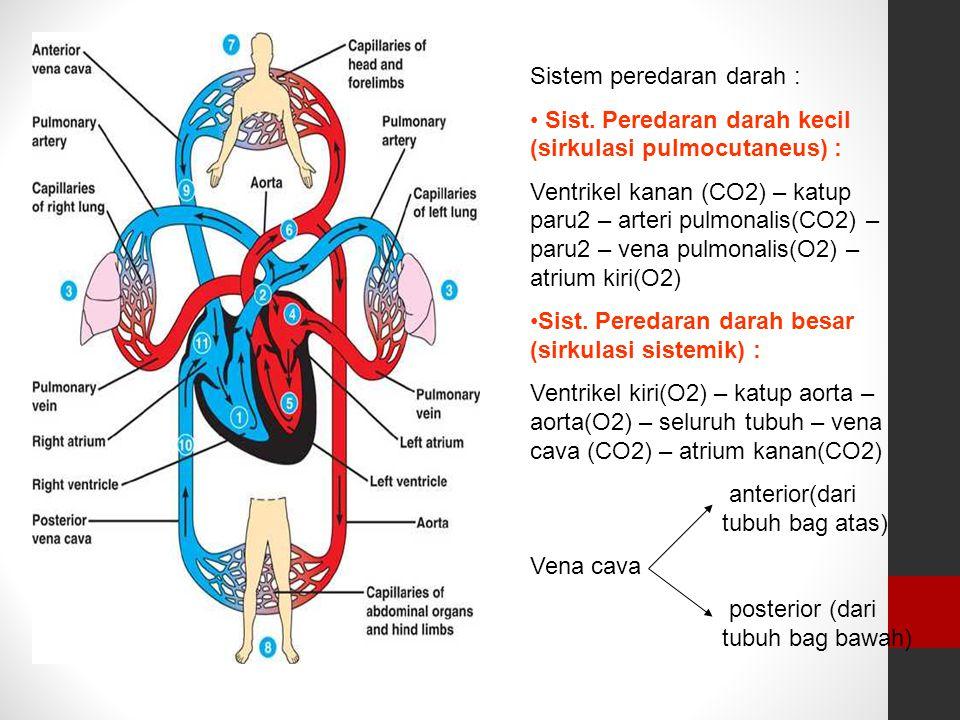 Sistem peredaran darah : Sist. Peredaran darah kecil (sirkulasi pulmocutaneus) : Ventrikel kanan (CO2) – katup paru2 – arteri pulmonalis(CO2) – paru2