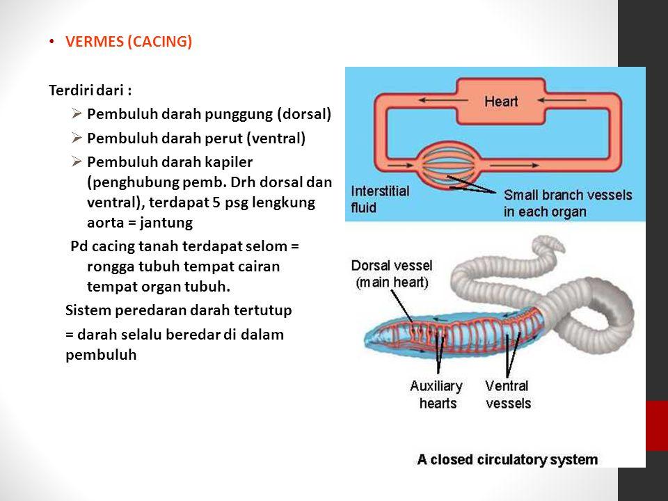 VERMES (CACING) Terdiri dari :  Pembuluh darah punggung (dorsal)  Pembuluh darah perut (ventral)  Pembuluh darah kapiler (penghubung pemb. Drh dors