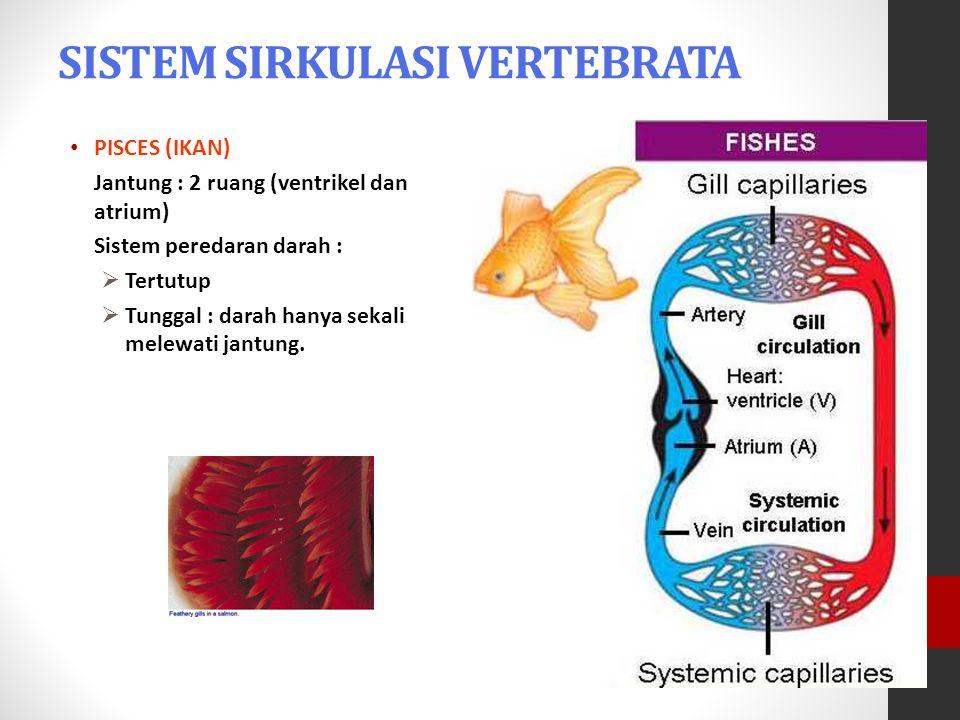 SISTEM SIRKULASI VERTEBRATA PISCES (IKAN) Jantung : 2 ruang (ventrikel dan atrium) Sistem peredaran darah :  Tertutup  Tunggal : darah hanya sekali
