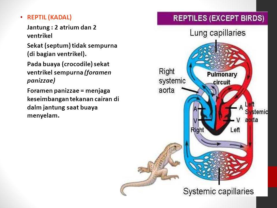 REPTIL (KADAL) Jantung : 2 atrium dan 2 ventrikel Sekat (septum) tidak sempurna (di bagian ventrikel). Pada buaya (crocodile) sekat ventrikel sempurna