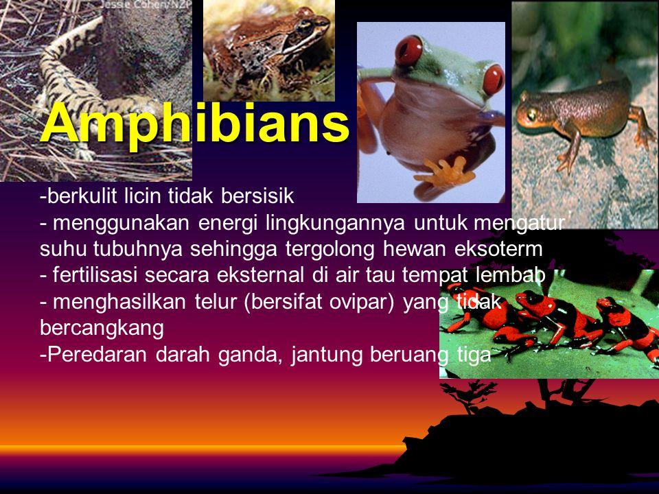 Amphibians -berkulit licin tidak bersisik - menggunakan energi lingkungannya untuk mengatur suhu tubuhnya sehingga tergolong hewan eksoterm - fertilisasi secara eksternal di air tau tempat lembab - menghasilkan telur (bersifat ovipar) yang tidak bercangkang -Peredaran darah ganda, jantung beruang tiga