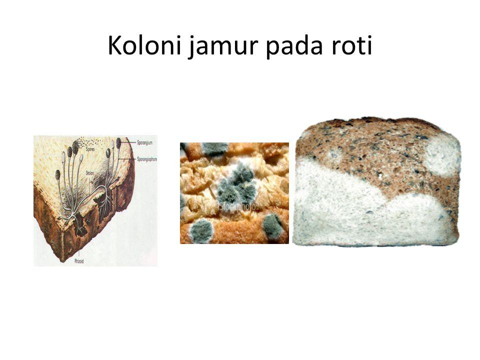 ASCOMYCOTINA Hifa bersekat, tiap sel berinti satu Bersel satu atau bersel banyak Dinding sel dari kitin Beberapa jenis bersimbiosis dengan ganggang hijau dan ganggang biru membentuk lumut kerak Mempunyai alat pembentuk spora yang disebut askus Hasil reproduksi generatif berupa askospora Contoh: Sacharomyces cereviceae, Penicillium chrysogenum, Penicillium notatum, Neurospora sitophilla, Neurospora crassa