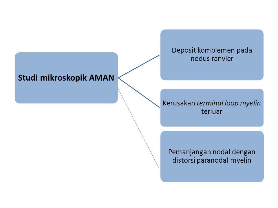 Studi mikroskopik AMAN Deposit komplemen pada nodus ranvier Kerusakan terminal loop myelin terluar Pemanjangan nodal dengan distorsi paranodal myelin