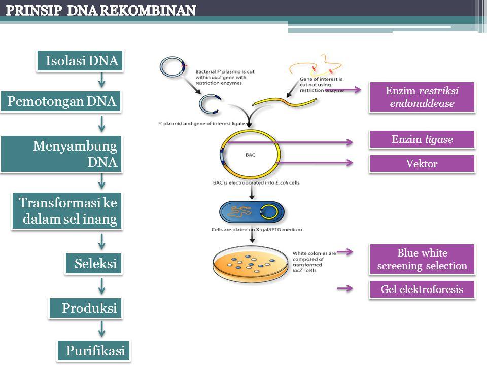 Isolasi DNA Pemotongan DNA Menyambung DNA Transformasi ke dalam sel inang Seleksi Produksi Purifikasi Enzim restriksi endonuklease Enzim ligase Vektor