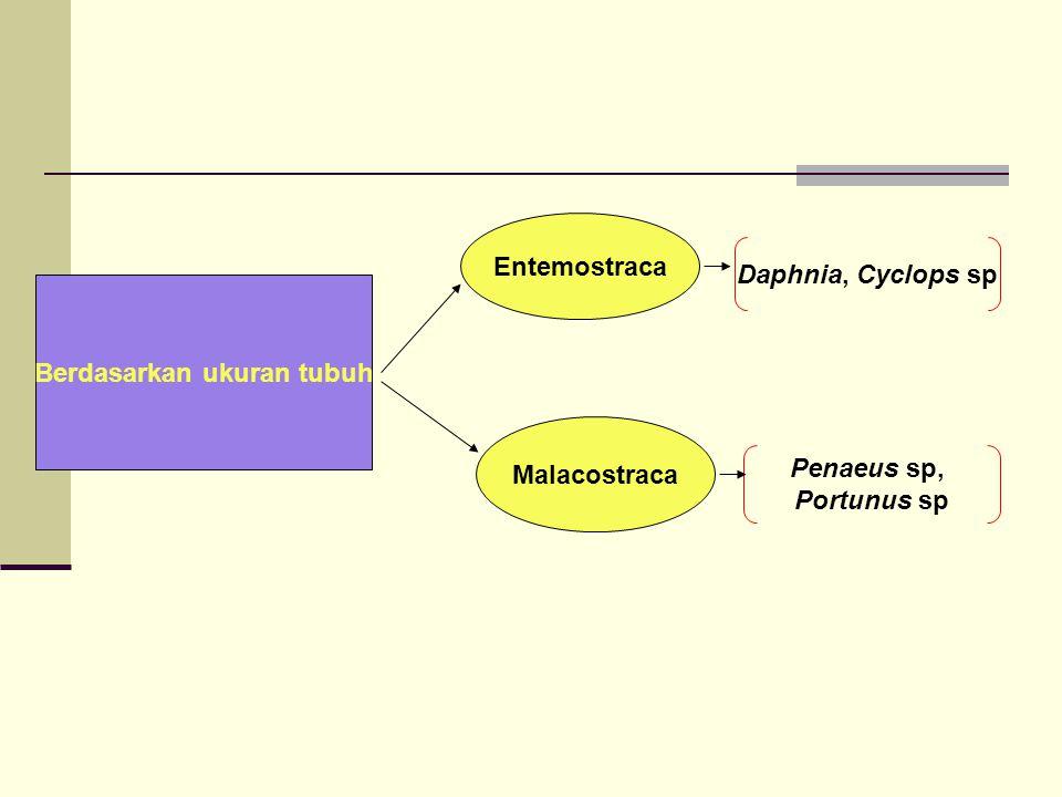 Berdasarkan ukuran tubuh Entemostraca Malacostraca Daphnia, Cyclops sp Penaeus sp, Portunus sp