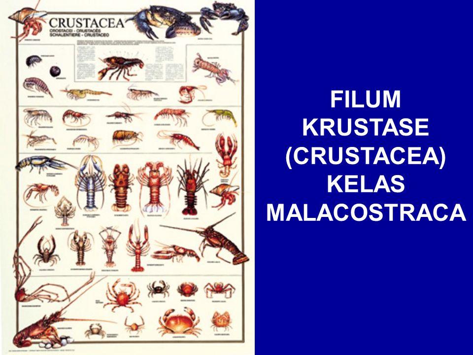 FILUM KRUSTASE (CRUSTACEA) KELAS MALACOSTRACA