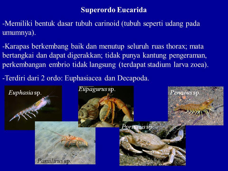 Superordo Eucarida -Memiliki bentuk dasar tubuh carinoid (tubuh seperti udang pada umumnya). -Karapas berkembang baik dan menutup seluruh ruas thorax;