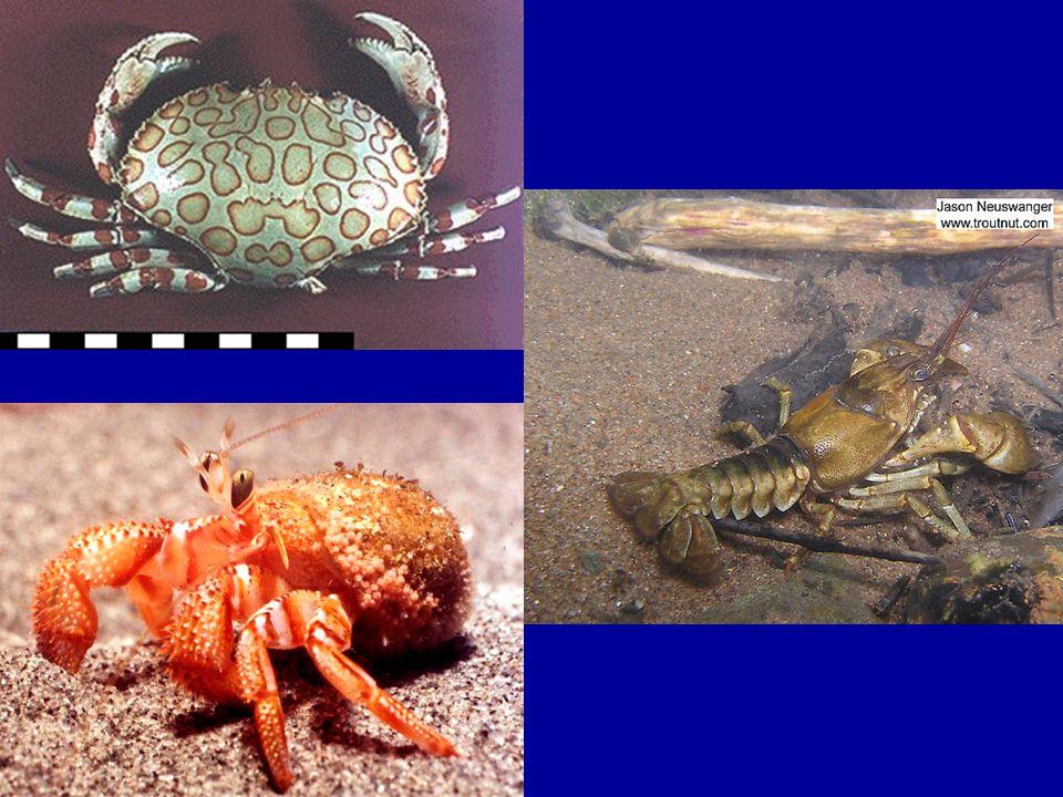 Anatomi Tubuh Malacostraca (Udang) 1.Meliputi jenis-jenis udang, rebon, kepiting.