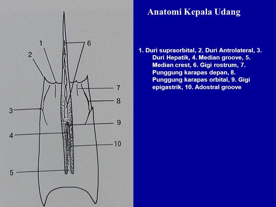 1. Duri supraorbital, 2. Duri Antrolateral, 3. Duri Hepatik, 4. Median groove, 5. Median crest, 6. Gigi rostrum, 7. Punggung karapas depan, 8. Punggun