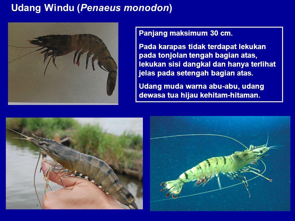Udang Windu (Penaeus monodon) Panjang maksimum 30 cm. Pada karapas tidak terdapat lekukan pada tonjolan tengah bagian atas, lekukan sisi dangkal dan h