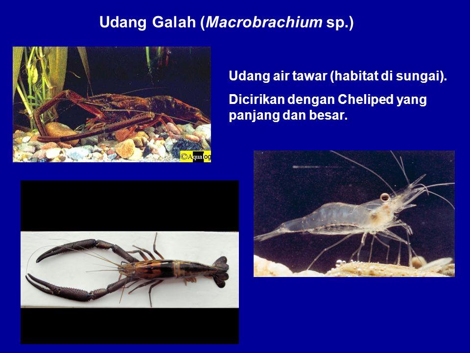 Udang Galah (Macrobrachium sp.) Udang air tawar (habitat di sungai). Dicirikan dengan Cheliped yang panjang dan besar.