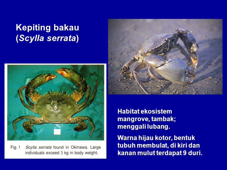 Kepiting bakau (Scylla serrata) Habitat ekosistem mangrove, tambak; menggali lubang. Warna hijau kotor, bentuk tubuh membulat, di kiri dan kanan mulut