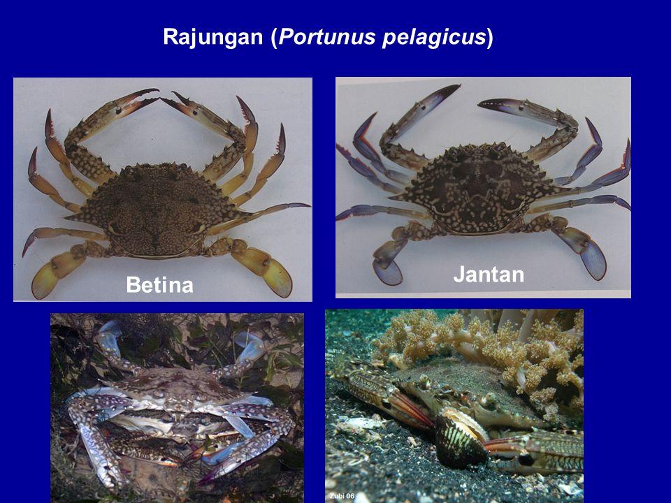 Rajungan (Portunus pelagicus) Jantan Betina