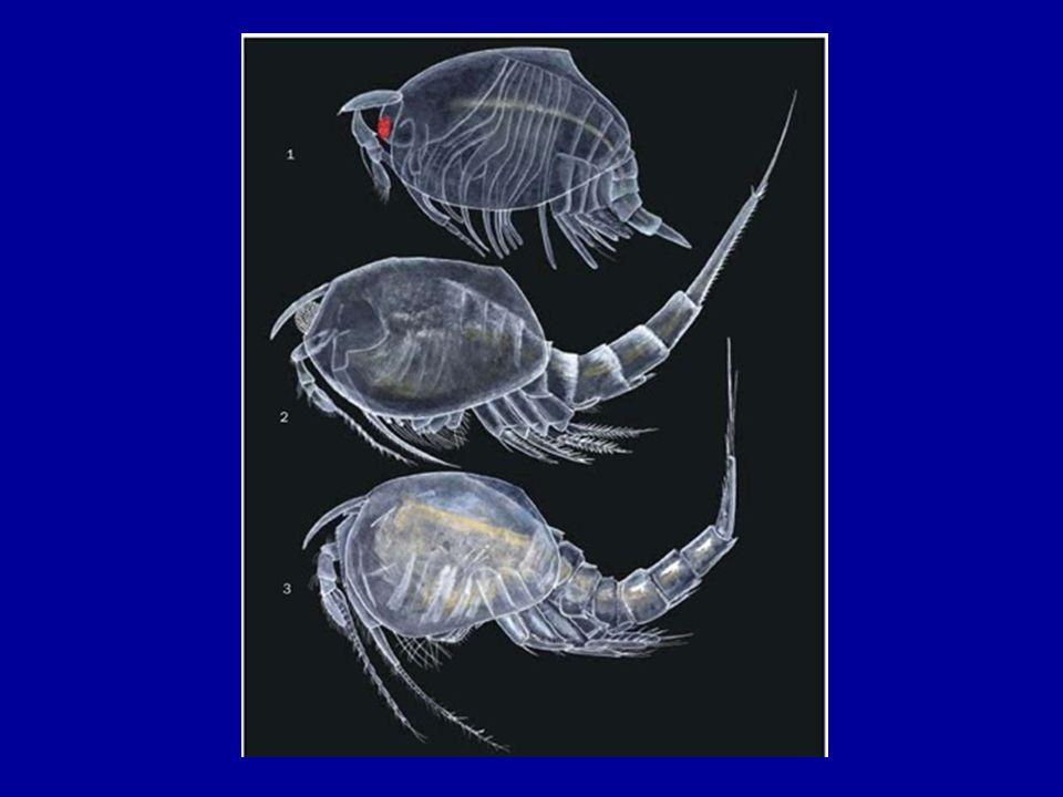 Superordo Hoplocarida -Dikenal sebagai mantis atau udang ronggeng.