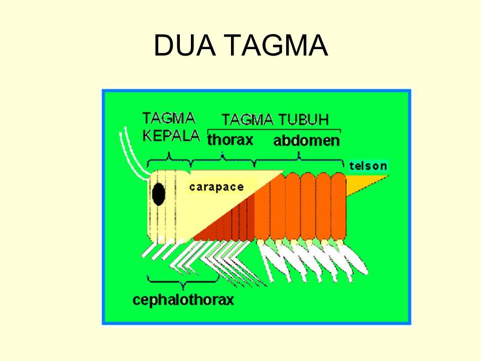 MODIFIKASI TAGMA PADA BEBERAPA CRUSTACEA SEGMEN ANTERIOR TAGMA THORAX BERFUSI DENGAN TAGMA KEPALA MEMBENTUK BAGIAN YANG DISEBUT CEPHALOTHORAX APPENDAGES PADA SEGMEN YANG BERFUSI BERUBAH FUNGSI MENJADI ALAT MULUT ATAU TAMBAHAN MULUT.