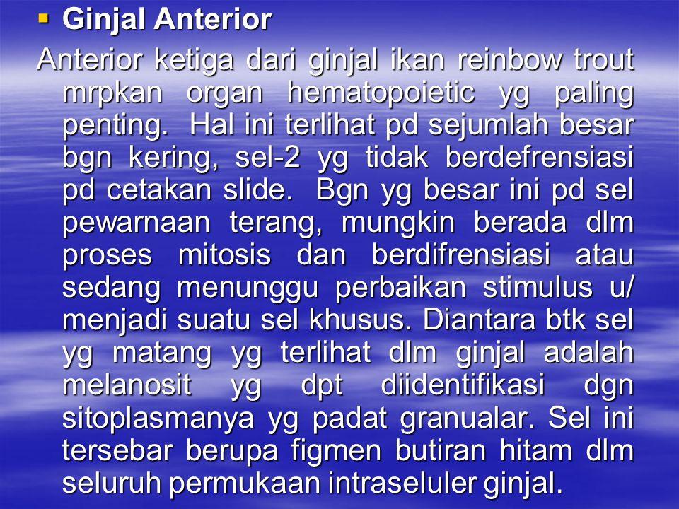  Ginjal Anterior Anterior ketiga dari ginjal ikan reinbow trout mrpkan organ hematopoietic yg paling penting. Hal ini terlihat pd sejumlah besar bgn