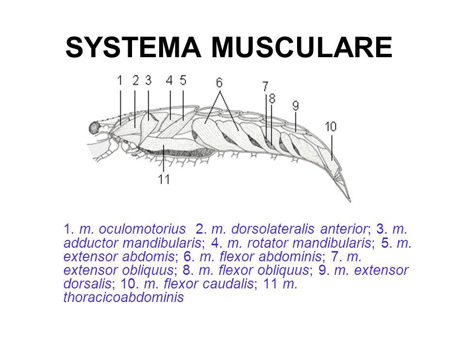 SYSTEMA MUSCULARE 1.m. oculomotorius 2. m. dorsolateralis anterior; 3.