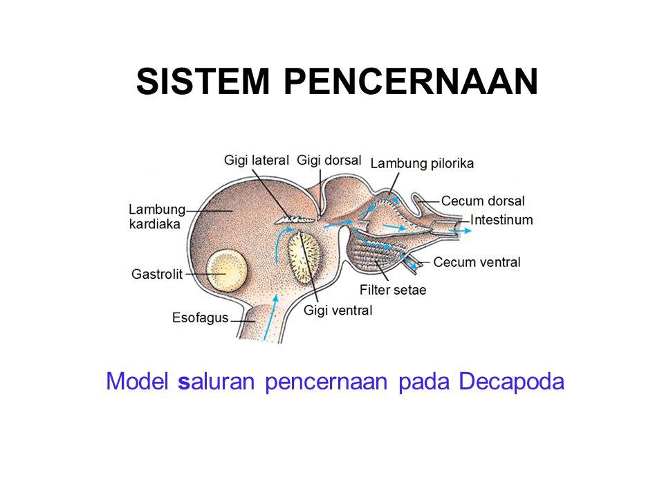 SISTEM PENCERNAAN Model saluran pencernaan pada Decapoda