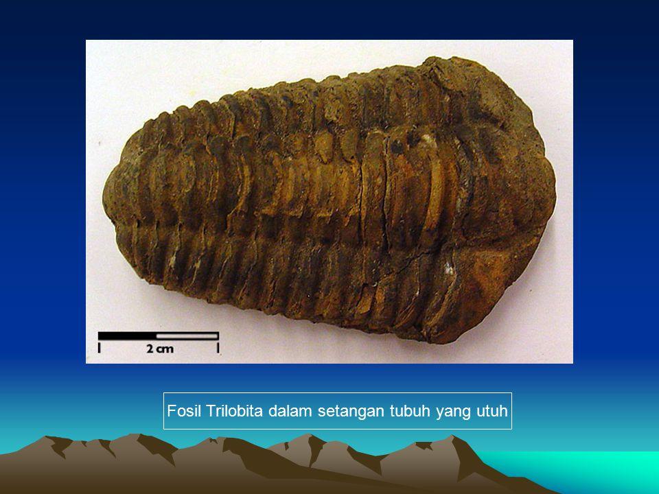 Fosil Trilobita dalam setangan tubuh yang utuh