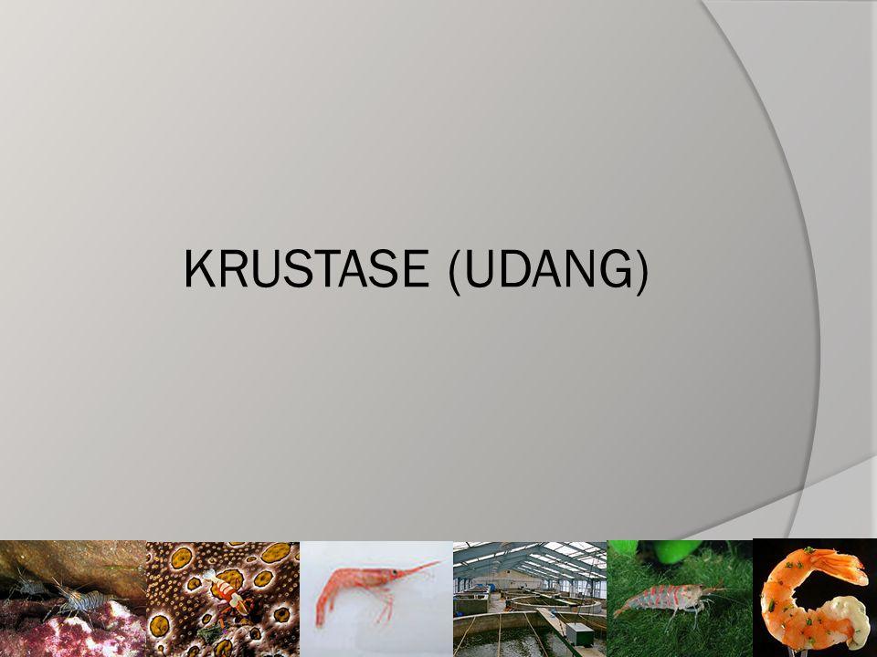 KRUSTASE (UDANG)