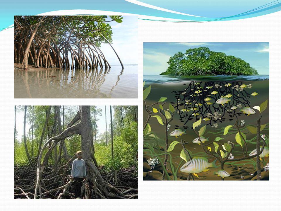 Karakteristik vegetasi mangrove  Jenis pohon yang relatif sedikit,  Perakaran tidak beraturan  Biji (propagul) yang bersifat vivipar atau dapat berkecambah di pohonnya.
