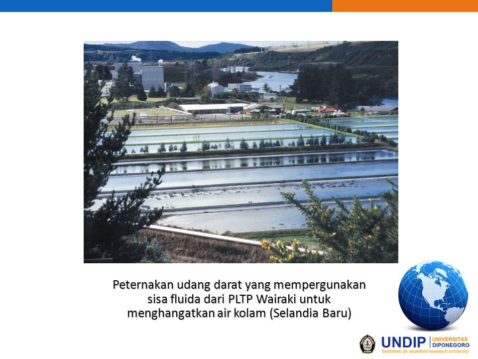 Peternakan udang darat yang mempergunakan sisa fluida dari PLTP Wairaki untuk menghangatkan air kolam (Selandia Baru)