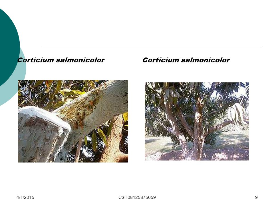 Corticium salmonicolor 4/1/2015Call 081258756599