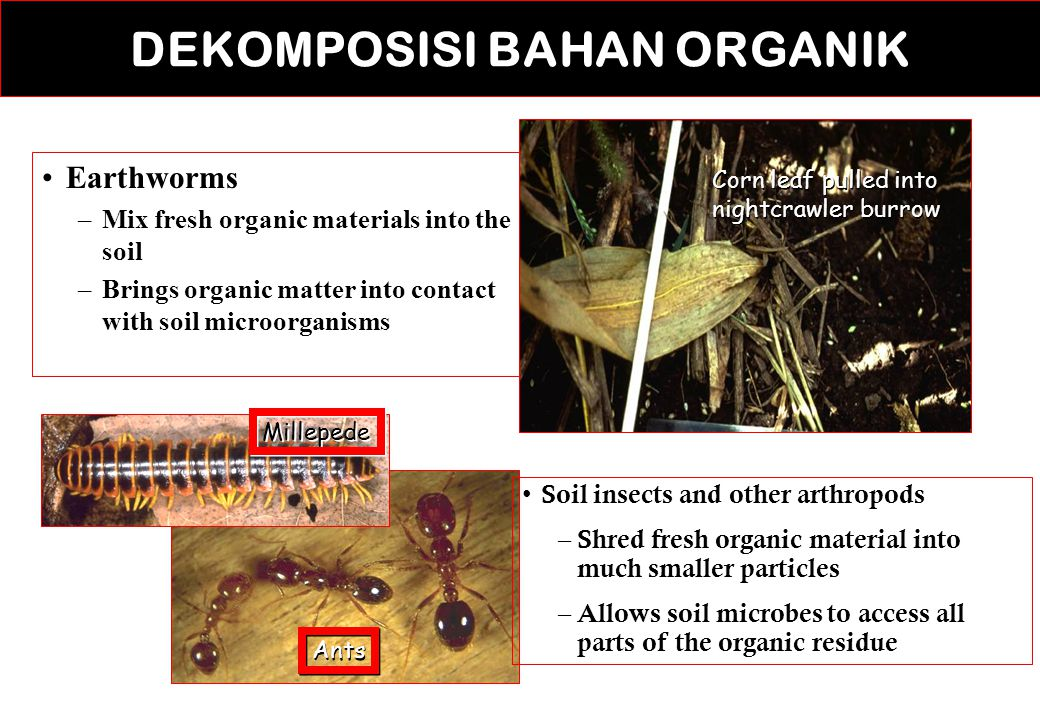 DEKOMPOSISI BAHAN ORGANIK Earthworms –Mix fresh organic materials into the soil –Brings organic matter into contact with soil microorganisms Corn leaf