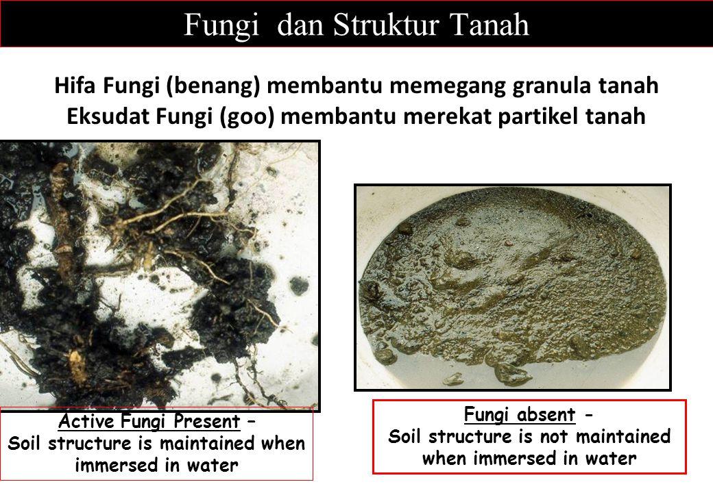 Fungi dan Struktur Tanah Hifa Fungi (benang) membantu memegang granula tanah Eksudat Fungi (goo) membantu merekat partikel tanah Fungi absent - Soil s