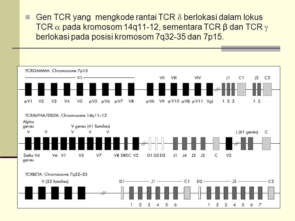 Gen TCR yang mengkode rantai TCR  berlokasi dalam lokus TCR  pada kromosom 14q11-12, sementara TCR β dan TCR  berlokasi pada posisi kromosom 7q32-3