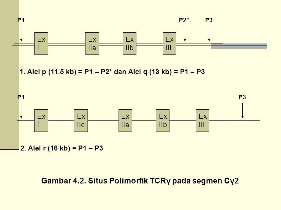 Ex I Ex IIa Ex IIb Ex III Ex I Ex IIc Ex IIa Ex IIb Ex III P1P2*P3 P1 1. Alel p (11,5 kb) = P1 – P2* dan Alel q (13 kb) = P1 – P3 2. Alel r (16 kb) =