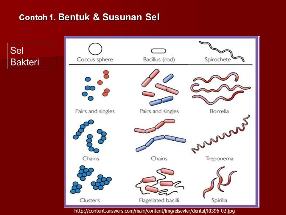 http://content.answers.com/main/content/img/elsevier/dental/f0396-02.jpg Sel Bakteri Contoh 1. Bentuk & Susunan Sel Contoh 1. Bentuk & Susunan Sel