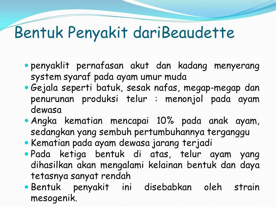 Bentuk Penyakit dariBeaudette penyaklit pernafasan akut dan kadang menyerang system syaraf pada ayam umur muda Gejala seperti batuk, sesak nafas, mega