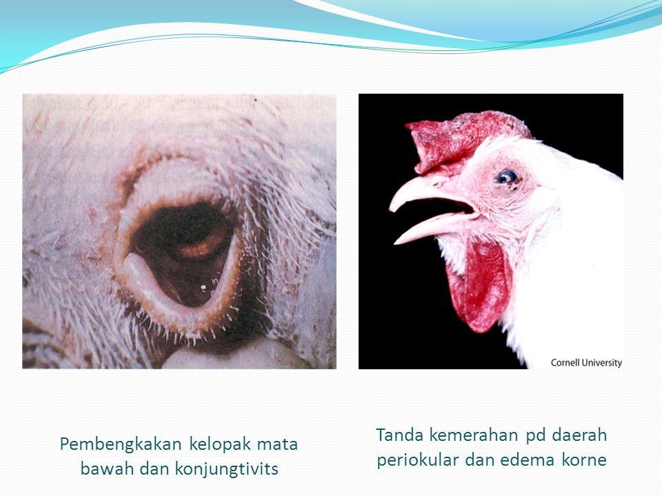 Pembengkakan kelopak mata bawah dan konjungtivits Tanda kemerahan pd daerah periokular dan edema korne