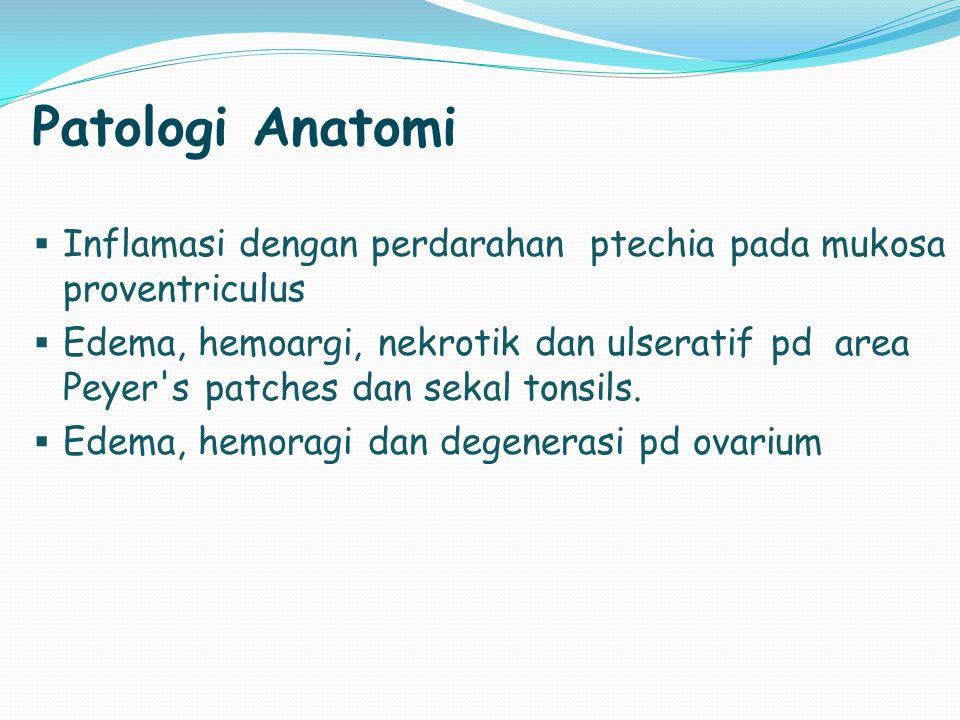 Patologi Anatomi  Inflamasi dengan perdarahan ptechia pada mukosa proventriculus  Edema, hemoargi, nekrotik dan ulseratif pd area Peyer's patches da