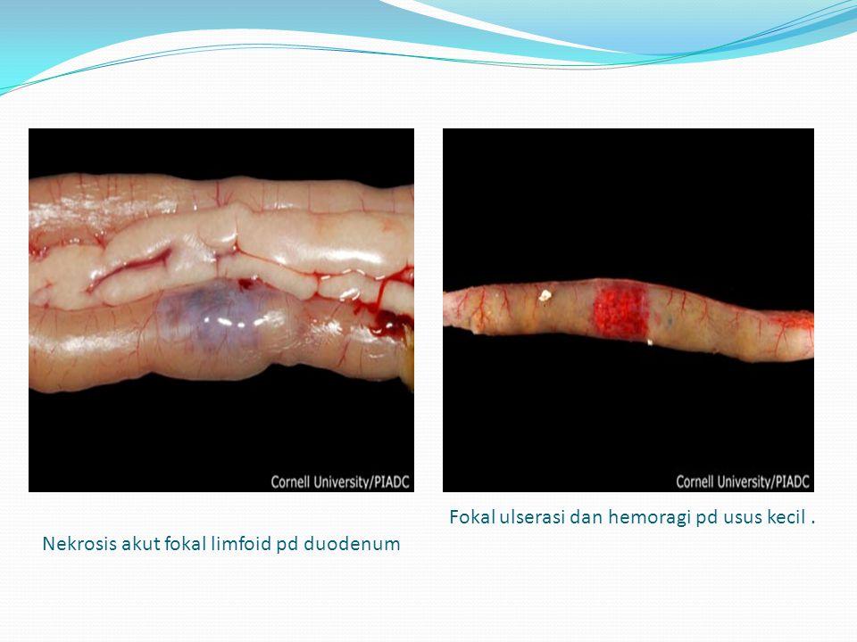 Nekrosis akut fokal limfoid pd duodenum Fokal ulserasi dan hemoragi pd usus kecil.