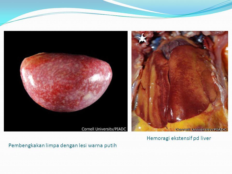 Pembengkakan limpa dengan lesi warna putih Hemoragi ekstensif pd liver