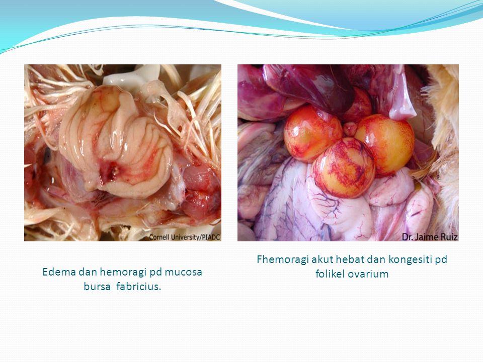 Edema dan hemoragi pd mucosa bursa fabricius. Fhemoragi akut hebat dan kongesiti pd folikel ovarium