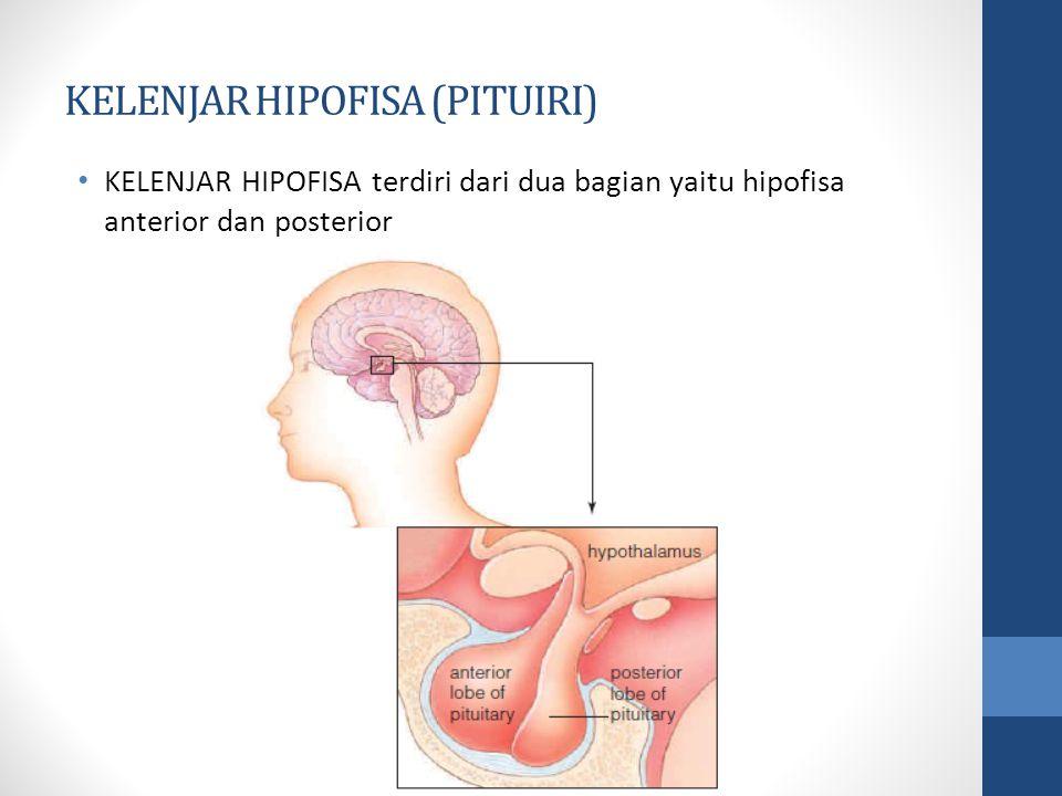 KELENJAR HIPOFISA (PITUIRI) KELENJAR HIPOFISA terdiri dari dua bagian yaitu hipofisa anterior dan posterior