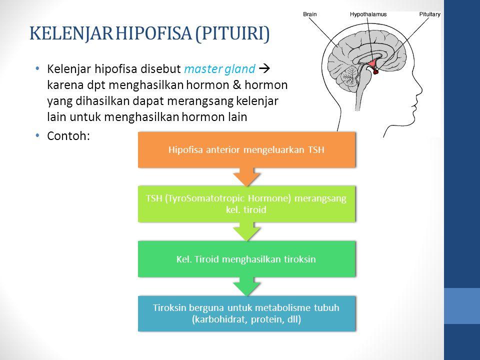 KELENJAR HIPOFISA (PITUIRI) Kelenjar hipofisa disebut master gland  karena dpt menghasilkan hormon & hormon yang dihasilkan dapat merangsang kelenjar lain untuk menghasilkan hormon lain Contoh: Tiroksin berguna untuk metabolisme tubuh (karbohidrat, protein, dll) Kel.