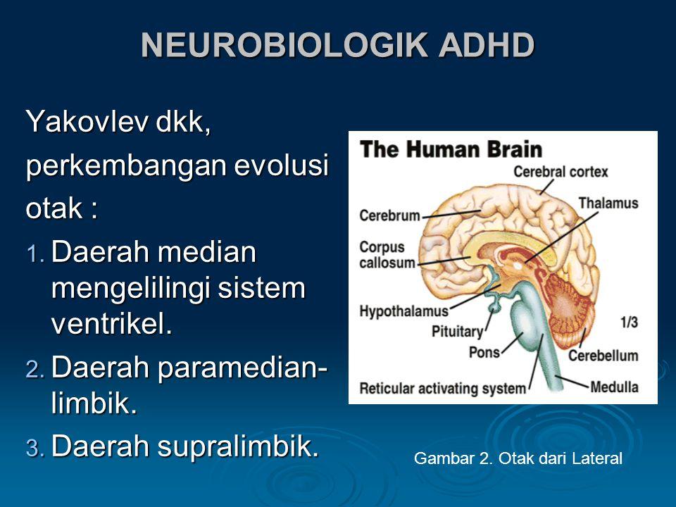 NEUROBIOLOGIK ADHD Yakovlev dkk, perkembangan evolusi otak : 1.