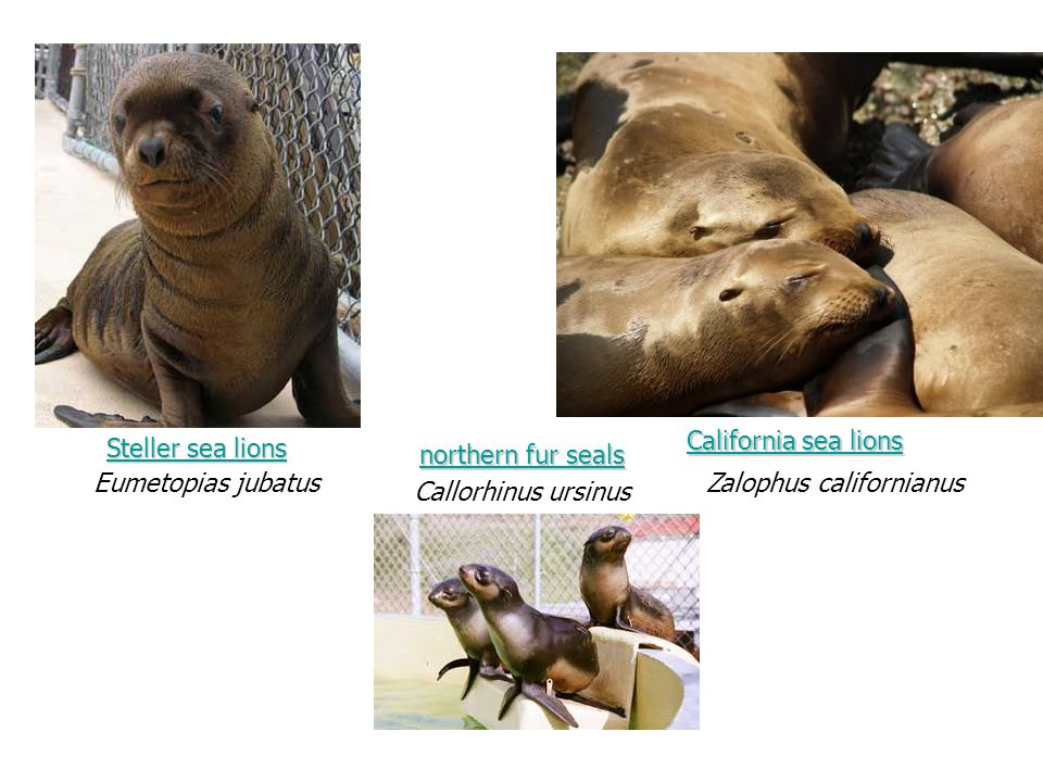 Steller sea lions Steller sea lions Eumetopias jubatus Callorhinus ursinus northern fur seals northern fur seals California sea lions California sea lions Zalophus californianus